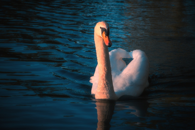 SwanPortrait1-3-